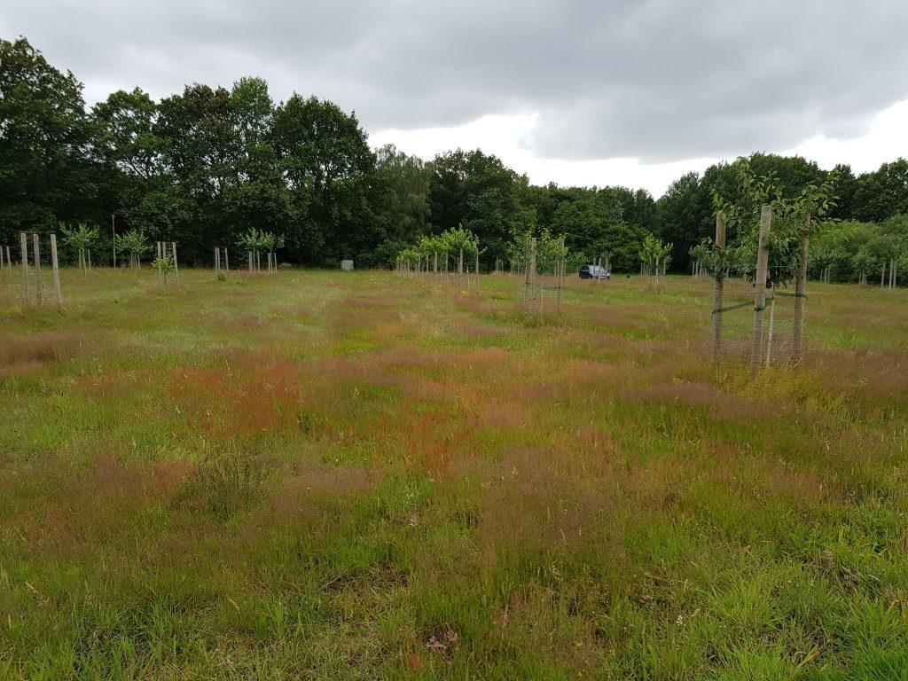 Trockener Teil der Wiese mit Rotem Straußgras