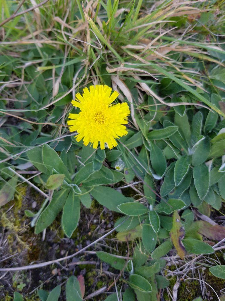 Mausohr mit Blüte